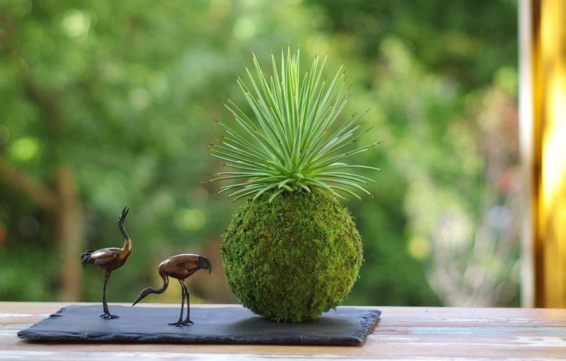 Kokedama réalisé avec une agave