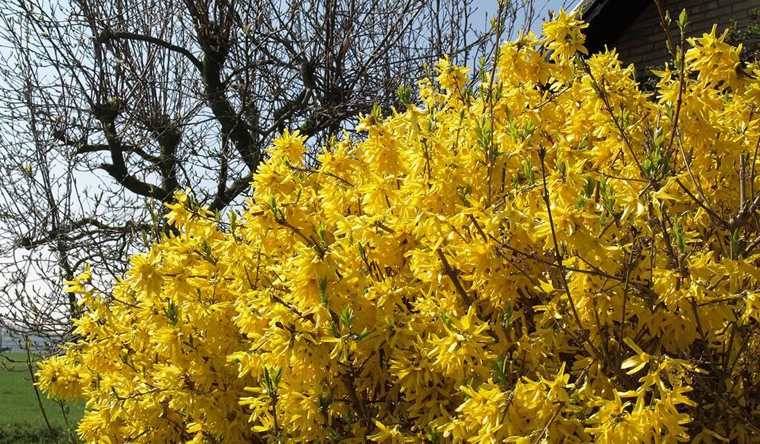 Les forsythias ne doivent pas être taillés avant l'arrivée du printemps.