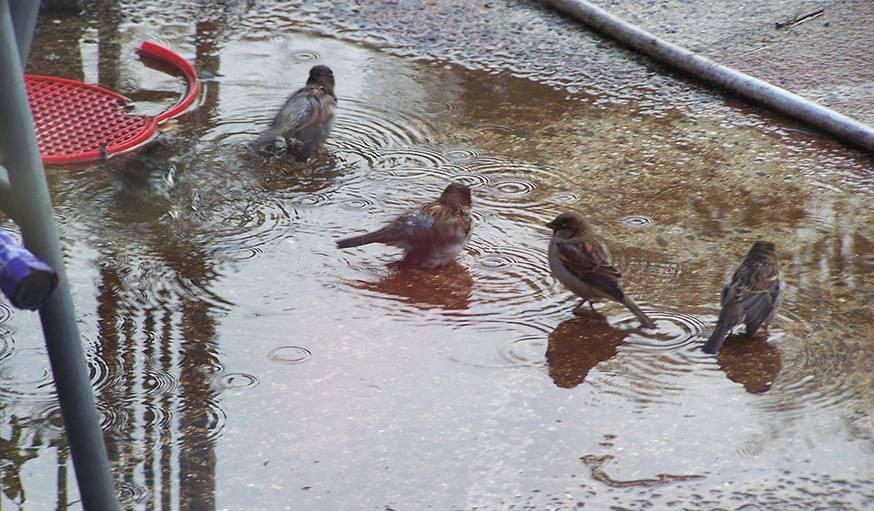 Des petits oiseaux en pleine toilette, vus de la fenêtre de Katy en septembre.