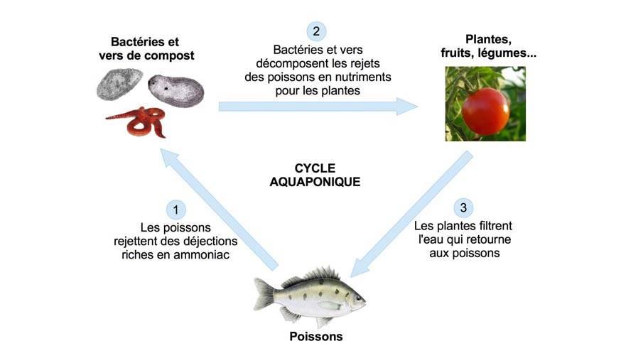 Comprendre le fonctionnement de l'aquaponie