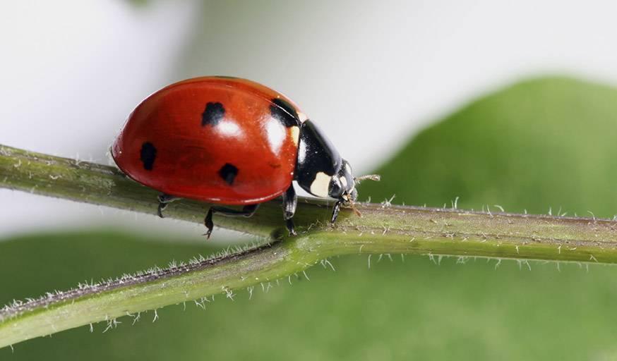 Tous les insectes ne sont pas nuisibles, les coccinelles vous débarrasseront des pucerons.