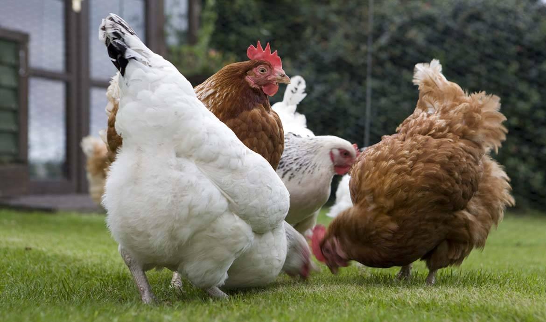 Adopter des poules pondeuses et installer un poulailler