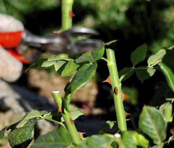 Astuces pour réussir la taille des rosiers
