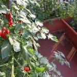 Les tomates cerises poussent en un clin d'oeil sur les balcons ensoleillés.