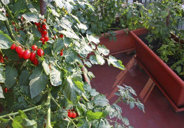 Planter Des Tomates Sur Son Balcon Comment Faire Pousser