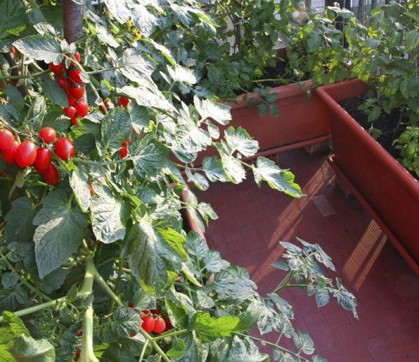 Cultiver des tomates sur son balcon