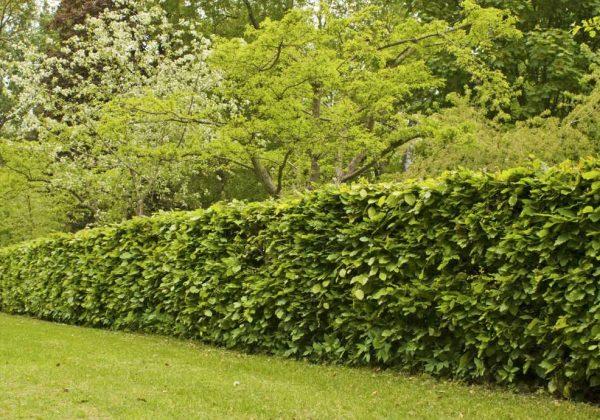 Quels arbres planter pour avoir une belle clôture ? - Choix des ...