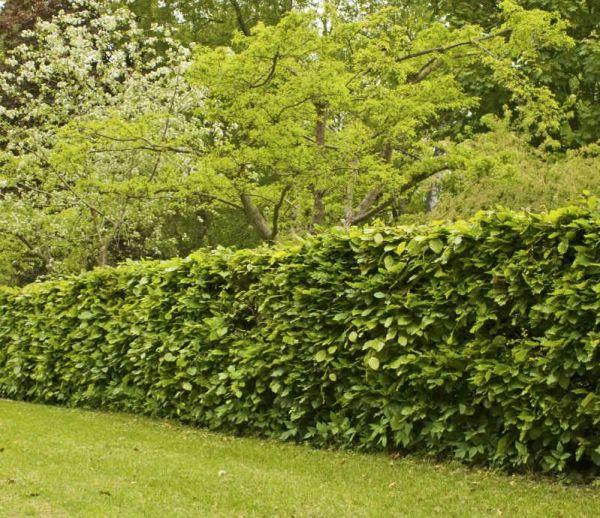 Quels arbustes choisir pour ses haies ?