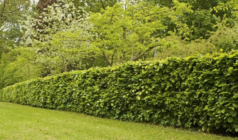 quels arbres planter pour avoir une belle cl ture. Black Bedroom Furniture Sets. Home Design Ideas