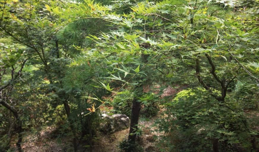 Les momijis, qui se parent d'un beau feuillage rouge, une fois l'automne venu.