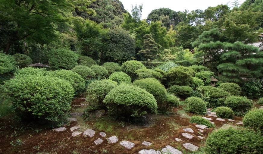 Les satzuki, petits buissons verts, sont les plus répandus dans le jardin d'Azumi San.