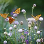 En semant des plantes d'espèces différentes, les papillons reviendront butiner votre jardin.