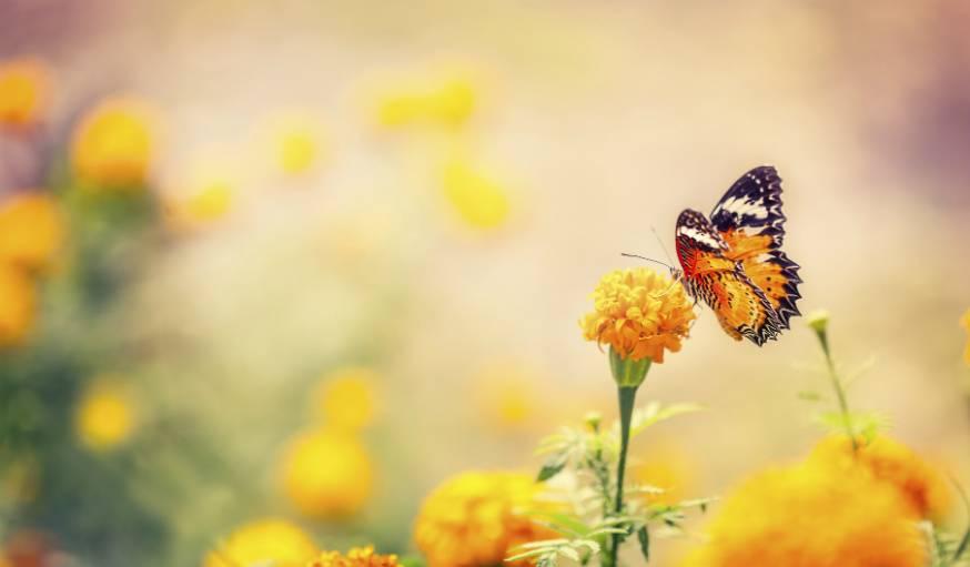 Les papillons sont particulièrement friands des fleurs jaunes, bleues ou violettes.