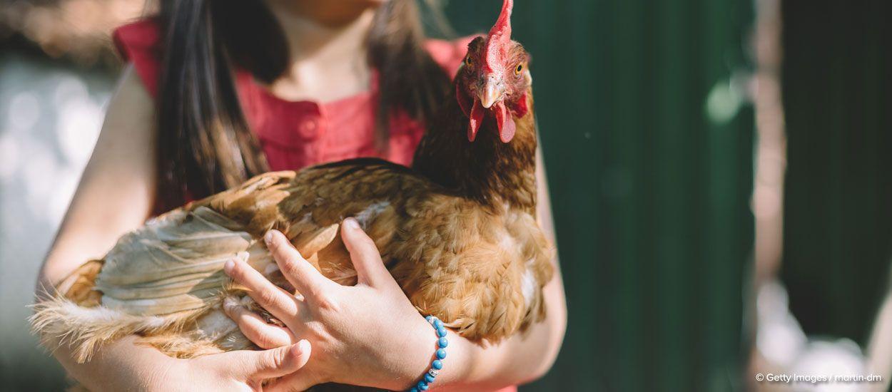7 conseils pour le bien être de vos poules
