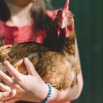7-conseils-pour-le-bien-être-de-vos-poules