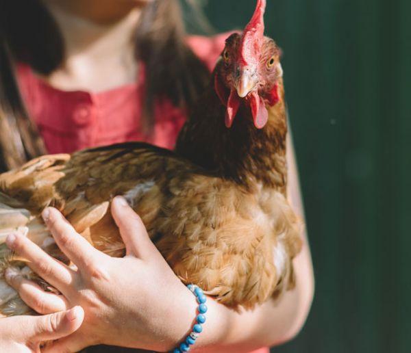 7 conseils pour le bien-être de vos poules