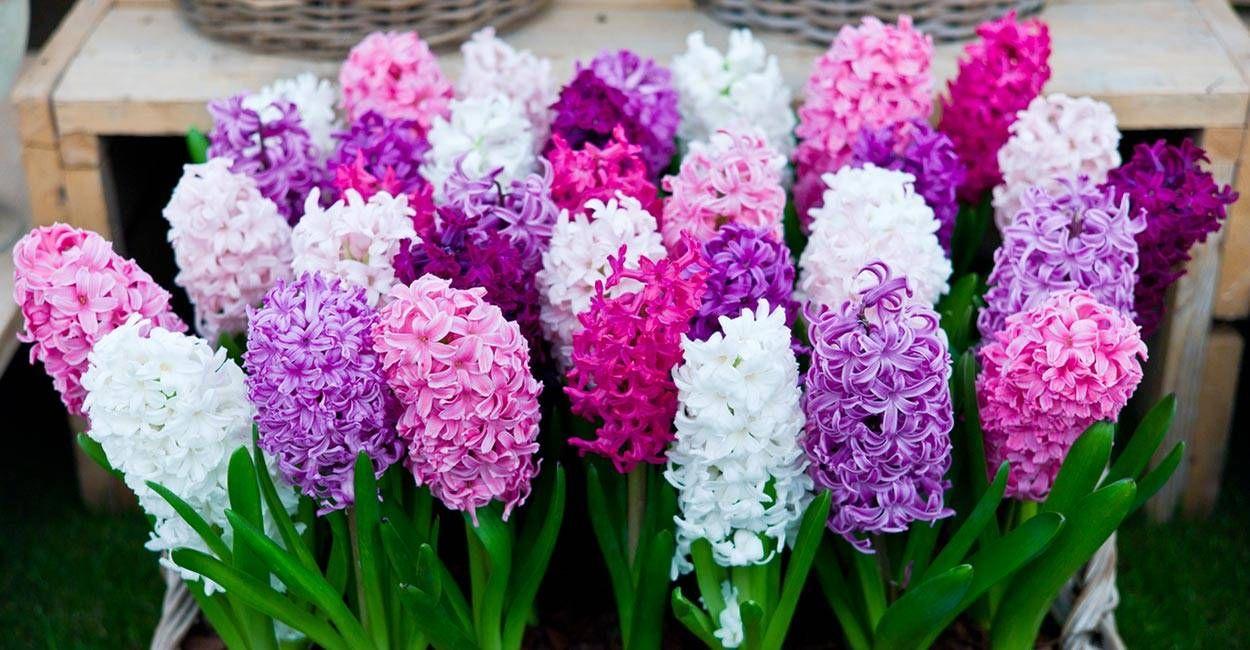 les jacinthes en pot les fleurs id ales pour le salon et la cuisine fleur de l 39 hiver. Black Bedroom Furniture Sets. Home Design Ideas
