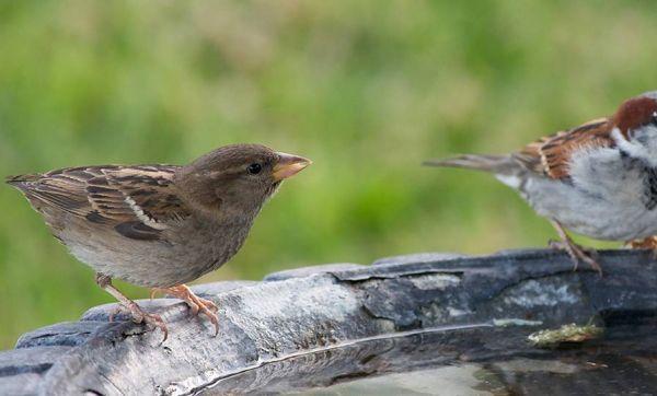 Ce week-end, comptez les oiseaux de votre jardin