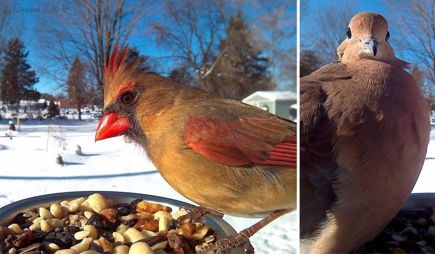 Une femelle cardinal rouge à gauche. Une tourterelle triste à droite.