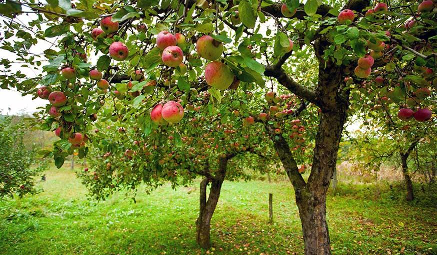 quand tailler les arbres fruitiers que faire dans son