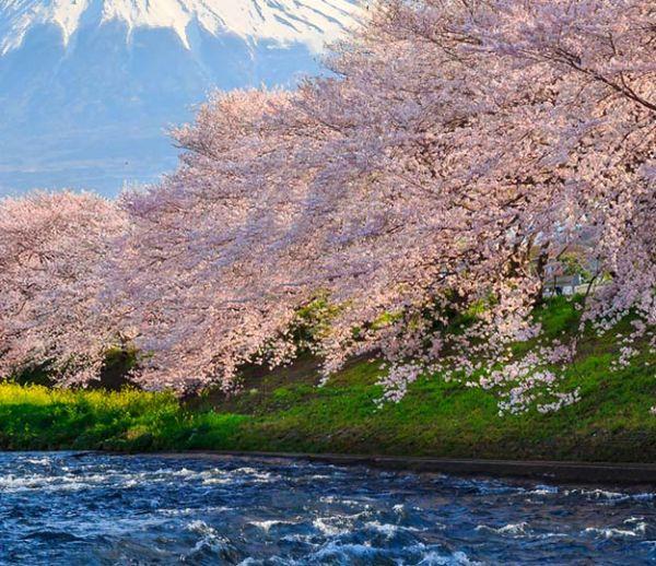 Au Japon, la poésie des cerisiers en fleurs