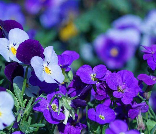 En mars, des fleurs colorées dans votre jardin
