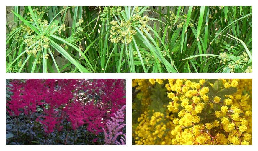 Astilbe, Cyperus et Mimosa