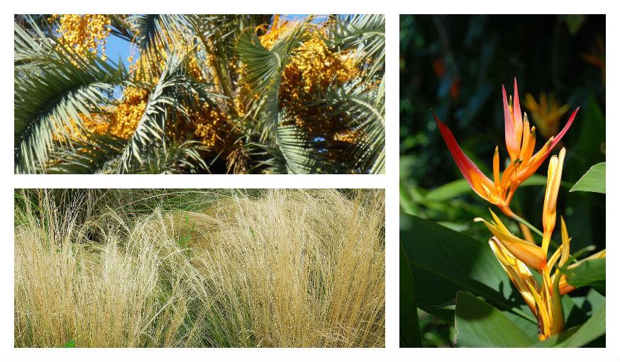 Palmier, Tenuissima, Oiseau du Paradis