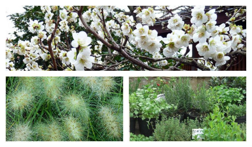 Roseaux, Cerisier du Japon, herbes aromatiques