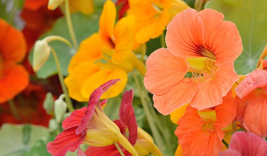 planter des fleurs dans son potager les fleurs et les l gumes au potager. Black Bedroom Furniture Sets. Home Design Ideas