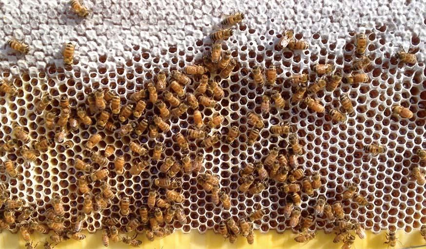 Des abeilles remplissent de miel les alvéoles artificielles de Flow Hive.
