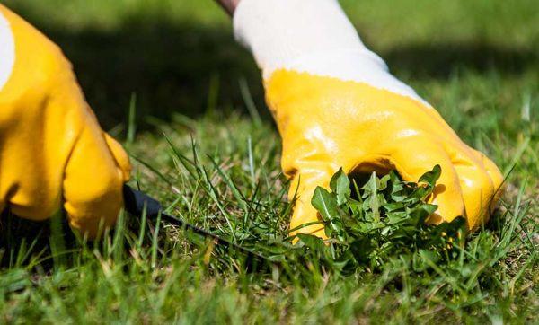 Comment désherber votre pelouse de manière écolo ?