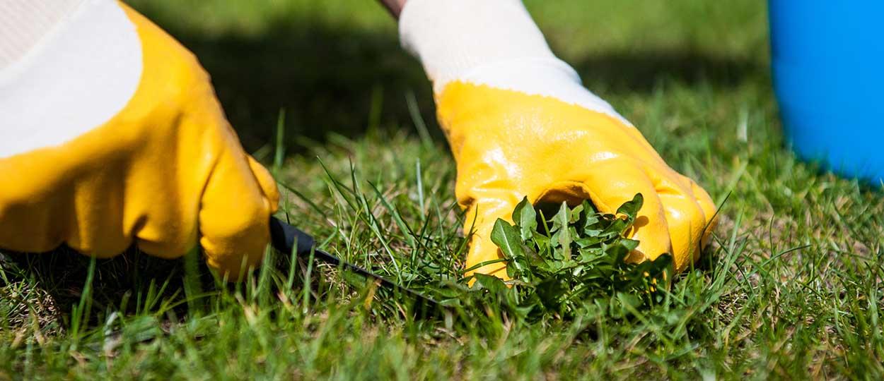Enlever les mauvaises herbes sans herbicide d sherbage colo - Enlever les mauvaises herbes ...