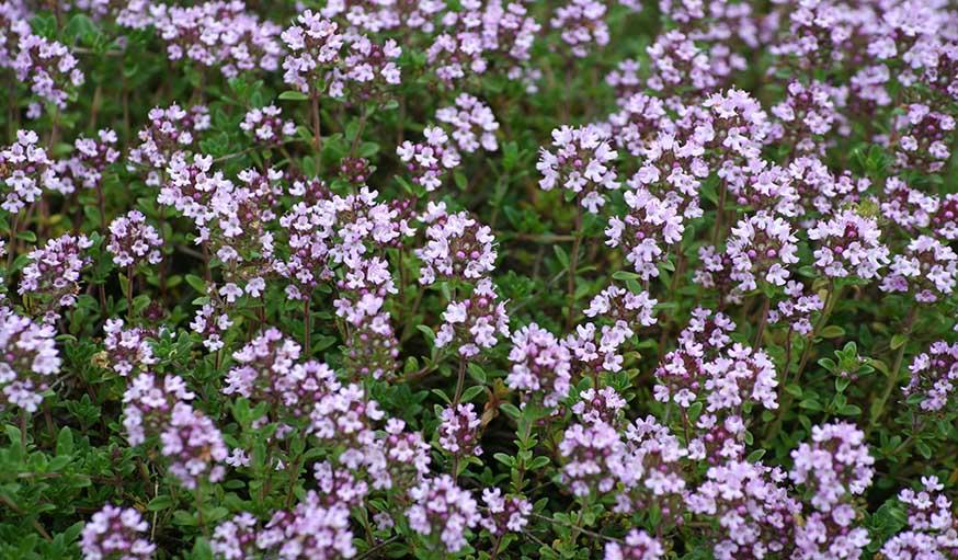 Le thym, peut créer un beau parterre odorant.