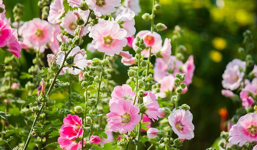 Les roses trémières.