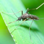 Un moustique posé sur une feuille