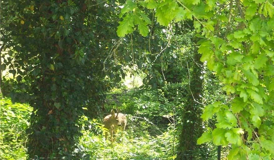 Apparition d'un chevreuil en proche Provins dans 77, le 25 juin