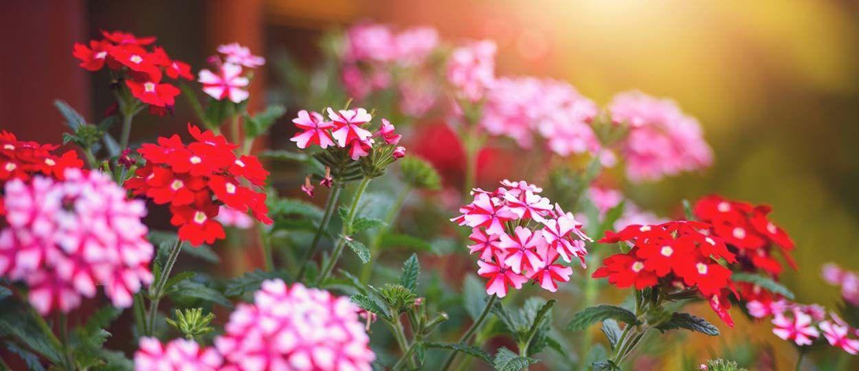 plante rpulsive pour chat exterieur bientre animal pot de l quelle plante fleurie pour la. Black Bedroom Furniture Sets. Home Design Ideas