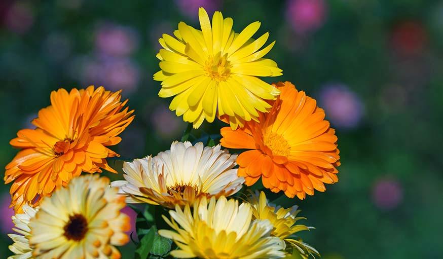 planter des fleurs dans son potager - les fleurs et les l u00e9gumes au potager