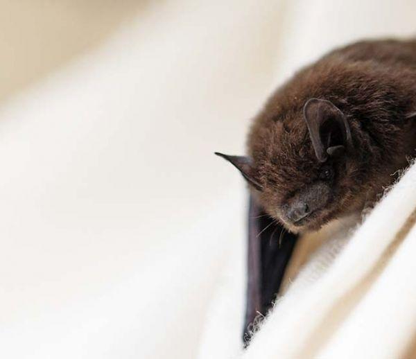 Cette start-up veut sauver les chauve-souris en leur offrant un abri parfaitement adapté