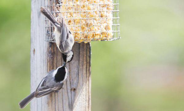 Tutoriel : Fabriquez une boule de graisse pour nourrir les oiseaux cet hiver !