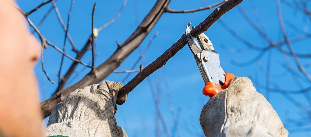 Tailler Un Dipladenia Pour L Hiver : taille des arbres en automne conif re fruitier r sineux feuillu ~ Nature-et-papiers.com Idées de Décoration