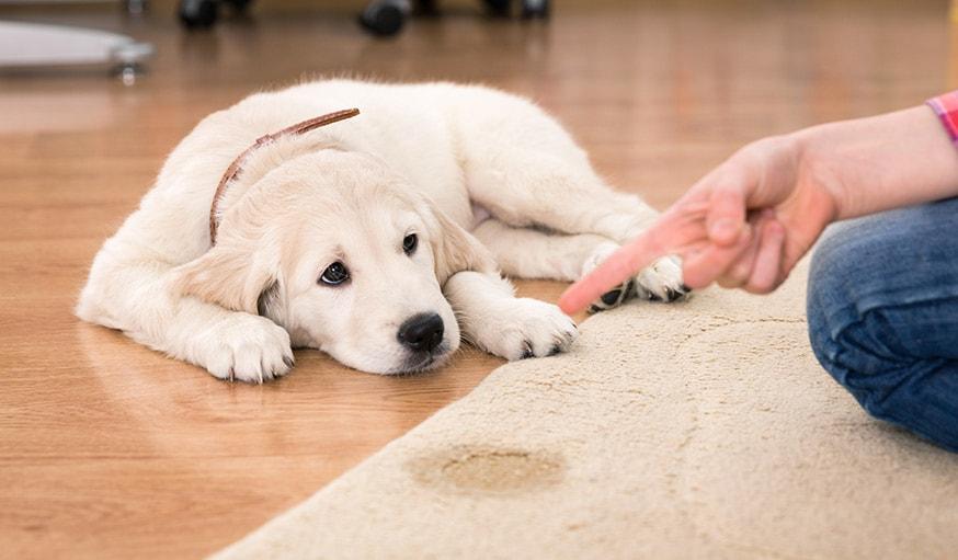 Il ne faut pas gronder son chien quand il a fait ses besoins à la maison.
