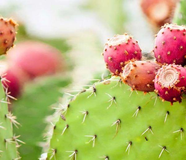 Voici comment cultiver des cactus dans votre jardin… pour les manger !