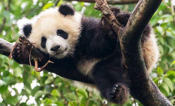 L'idée insolite et écolo : recycler les crottes de panda en mouchoirs et papier toilette