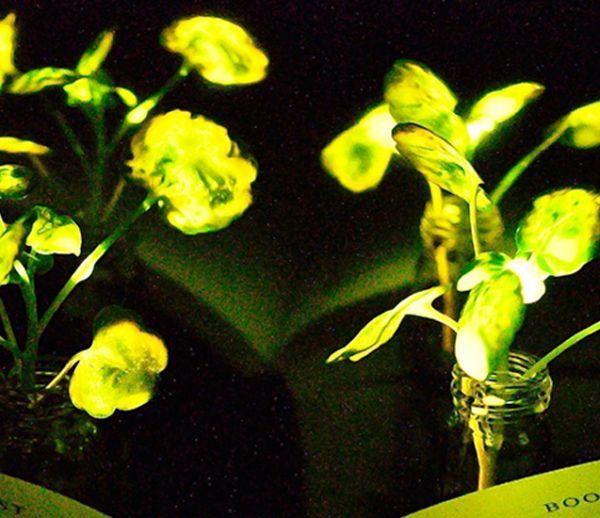 Ces chercheurs ont mis au point une plante capable d'éclairer toute une pièce !