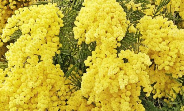 Star de l'hiver : nos conseils pour adopter le mimosa avec ou sans jardin