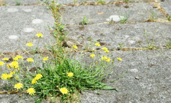 5 techniques pour désherber vos terrasses et allées sans pesticides !