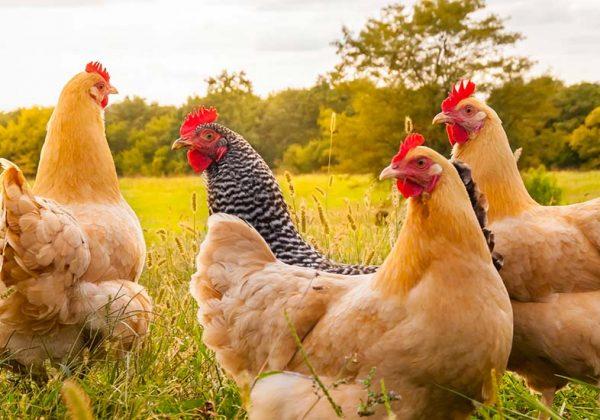 Des Poules Distribuees En Chine Alternative Ecolo Aux