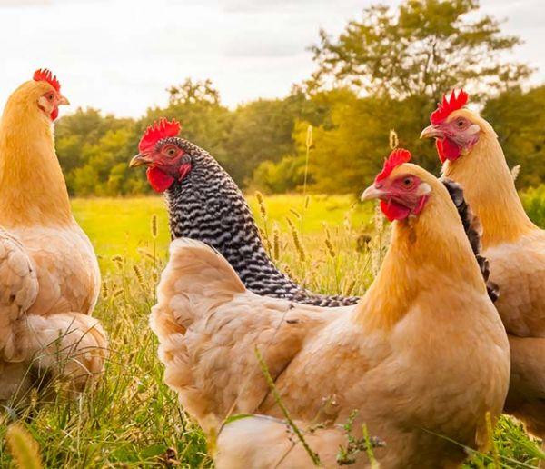 Une armée de poulets déployée en Chine pour utiliser moins d'insecticides